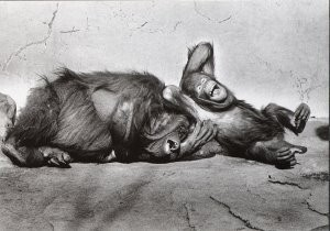 Satoshi Konuma (1961) -Orang-utans, 1979, from 'The Animal Portrait'- Postcard