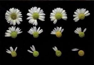 Paul Huf (1924-2002) -Flowerpower no.36- Postcard