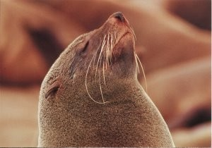 Martin Kers (1944) -Seal,Namibia- Postcard