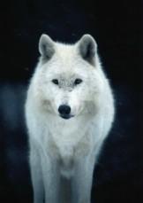 Ron Entius -Witte Wolf- Postcard