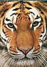 Paul van Gaalen(1948) -Siberische tijge- Notecard