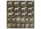 Eadward Muybridge(1830-1904)  -  From Animal Locomotion, An Electro-Photographic Investigatio - Postcard -  A14226-1
