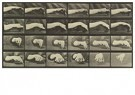 Eadward Muybridge(1830-1904)  -  Animal Locomotion, Plate - Postcard -  A14235-1