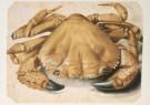 Albrecht Durer (1471-1528)  -  Krab (1494-1495) Eriphia Spinifrons - Postcard -  A2460-1