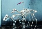 Anoniem  -  Skeletten Zuid-Amerikaans Zwijn UMU - Postcard -  A7545-1