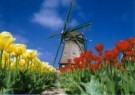 Igno Cuypers  -  Windmill with Red & Yellow Tulips, Holland - Postcard -  AU0812-1