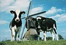 Igno Cuypers  -  Cow-Mill-Cow, Holland - Postcard -  AU0864-1
