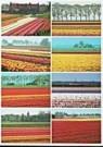 Aad Schenk  -  8 Tulip Fields - Postcard -  AU1054-1
