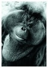 Nancy G. Horton  -  Orangutan. - Postcard -  B2494-1