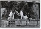 David Hornback (1962)  -  Cat Gossip, Seville, 1987 - Postcard -  B2614-1