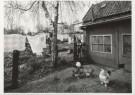Ge Dubbelman (1955)  -  Hollandse Hoogte / Lage Zwaluwe, De kippen van boe - Postcard -  B2837-1