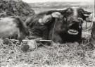 Fu Chun Wang  -  Tending Buffalo - Postcard -  B2871-1