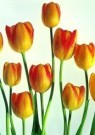 Paul Huf (1924-2002)  -  Golden Tulip II - Postcard -  C0776-1
