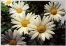 Paul Huf (1924-2002)  -  Flowerpower no. 5 - Postcard -  C0781-1
