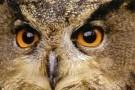 Robert Swart  -  Oehoe-eagle owl-bubo bubo - Postcard -  C10463-1