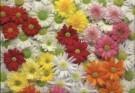 Paul Huf (1924-2002)  -  Flowerpower no.31 - Postcard -  C1059-1