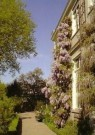 -  Blauwe Regen, Wisteria sinensis - Postcard -  C11068-1