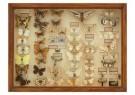 -  Vitrinekast met opgezette vlindersm circa 1920 - Postcard -  C12369-1