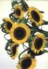 Paul Huf (1924-2002)  -  Huf/ Flowerpower no.40 - Postcard -  C1973-1