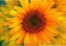 Elliott Landy (1942)  -  Sunflower Blue - Postcard -  C6551-1