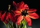 Luuc Stafleu  -  Dead tulips from - Postcard -  C7071-1