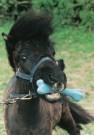 Mike Hollist  -  M.Hollist/Shetland pony/WPP - Postcard -  C7096-1