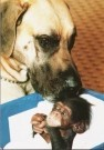 Mike Hollist  -  Great Dane foster baby chimp - Postcard -  C7098-1