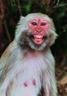 Ajoy Kumar Dutta (1953)  -  Humorous monkey - Postcard -  C7105-1