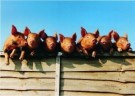 Michael Maloney  -  7 little pigs went - Postcard -  C7232-1