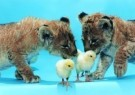 Mike Hollist  -  Chicks join the cubs - Postcard -  C7234-1
