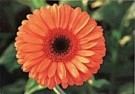 Erik de Beer  -  Gerbera, Optima - Postcard -  C8024-1