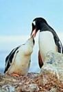 Cecilia Larrabura-Simpson  -  Pinguin - Postcard -  C8399-1