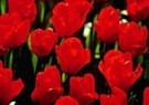 Anthony Cassidy  -  Tulips from Holland - Postcard -  C8428-1