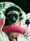 Ian Robinson  -  Gizmo the Gibbon - Postcard -  C8477-1