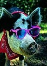 Bruce Curtis  -  Pig with Sunglasses - Postcard -  C8575-1