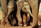 Mike Hollist  -  Baby elephants - Postcard -  C8698-1