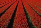 Gerry Hurkmans (1951)  -  Roodkapjes - Postcard -  C8775-1