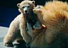 Ron Entius  -  Vechten met de beer - Postcard -  C8935-1