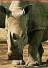 Paul van Gaalen(1948)  -  Witte Neushoorn, Sabi Sabi game reserve, Zuid-Afri - Postcard -  C9302-1