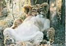 Paul van Gaalen(1948)  -  Leeuwenwelp, Sabi Sabi game reserve, Zuid-Afrika - Postcard -  C9304-1