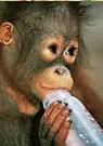 Paul van Gaalen(1948)  -  Orangoetan baby - Postcard -  C9306-1
