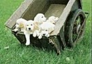 Coquille  -  A cartful of golden puppies - Postcard -  C9310-1