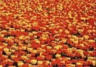Coquille  -  A sea of red and yellow Tulips, 2000 - Postcard -  C9327-1