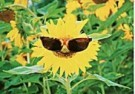 Michael Mattsson  -  Sunflower with sunglasses - Postcard -  C9331-1
