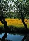 Paul van Riel (1948)  -  Willow in spring - Postcard -  C9410-1
