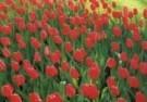 Dinno Dekker  -  Hollands glorie - Postcard -  C9444-1