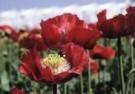Marianne Cornelissen-Kuyt  -  Buzzing over Poppy - Postcard -  C9450-1