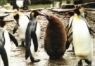 Mike Hollist  -  The king Penguin - Postcard -  C9581-1