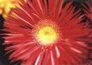 Alette Berends  -  Het gele hartje - Postcard -  C9742-1