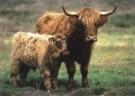 Jan Sleurink  -  Schotse Hooglanders, koe met kalf, 2000 - Postcard -  C9743-1